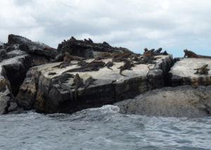 Galapagos Marine Iguanas are everywhere
