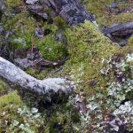 TranzAlpine Scenic Railway -Moss and Lichens in the woods near Arthur's Pass