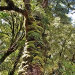 Karamea moss covered tree trunk